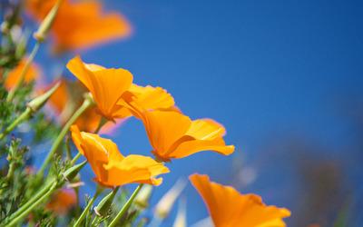 California poppies wallpaper