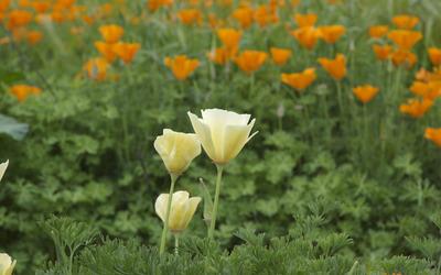California poppy [3] wallpaper