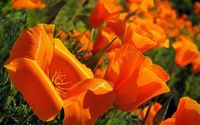 California poppy [4] wallpaper 1920x1200 jpg