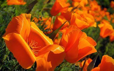 California poppy [4] wallpaper