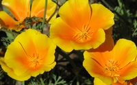 California poppy wallpaper 1920x1080 jpg