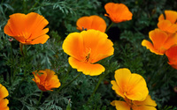 California poppy [2] wallpaper 2560x1600 jpg