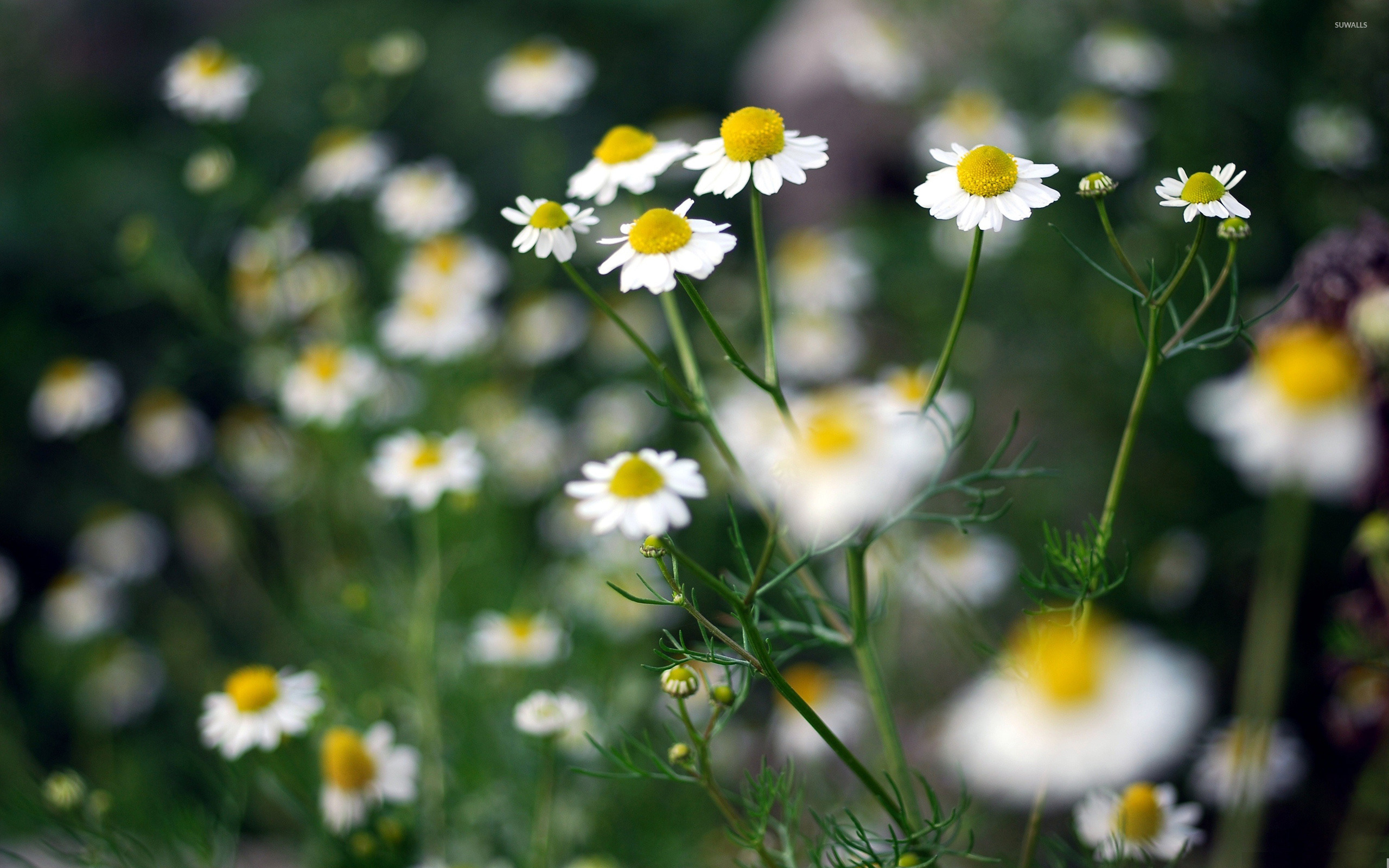 Chamomile wallpaper Flower wallpapers