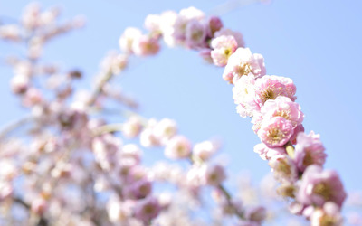 Cherry blossoms [7] wallpaper