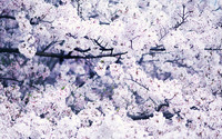 Cherry blossoms [3] wallpaper 2560x1600 jpg