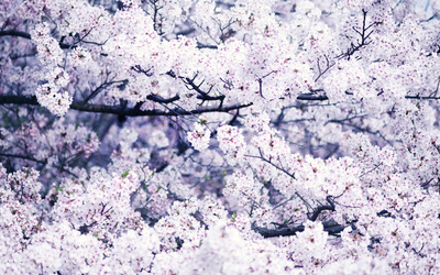 Cherry blossoms [3] wallpaper