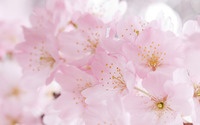 Cherry blossoms [2] wallpaper 2560x1600 jpg