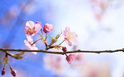 Cherry blossoms [10] wallpaper