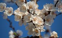 Cherry blossoms [6] wallpaper 2560x1600 jpg