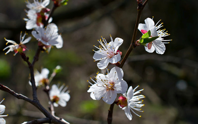 Cherry blossoms [11] wallpaper