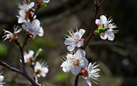 Cherry blossoms [12] wallpaper 1920x1200 jpg