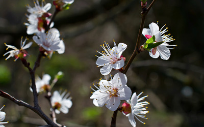 Cherry blossoms [12] wallpaper