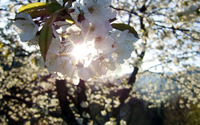 Cherry blossoms [13] wallpaper 1920x1200 jpg