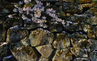 Cherry blossoms on the rocks wallpaper 1920x1200 jpg