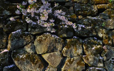 Cherry blossoms on the rocks wallpaper