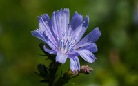 Chicory [2] wallpaper 2560x1600 jpg