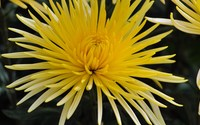 Chrysanthemum [7] wallpaper 1920x1080 jpg
