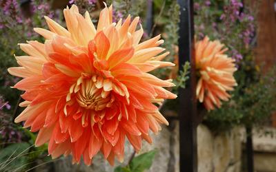 Chrysanthemum [10] wallpaper