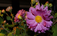 Chrysanthemum [17] wallpaper 2560x1440 jpg