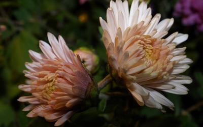 Chrysanthemum [20] wallpaper