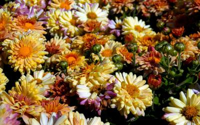 Chrysanthemum [13] wallpaper