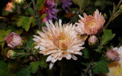 Chrysanthemum [15] wallpaper