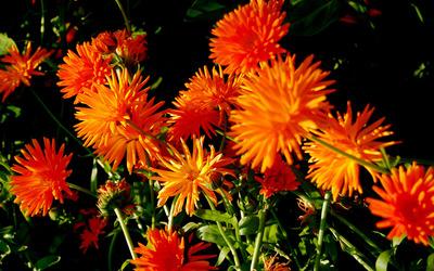 Chrysanthemum [11] wallpaper