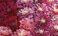 Chrysanthemum [3] wallpaper 2560x1600 jpg