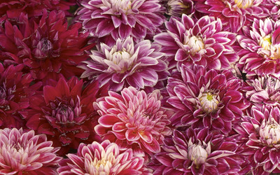 Chrysanthemum [3] wallpaper