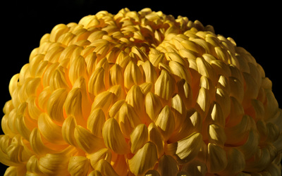 Chrysanthemum [4] wallpaper