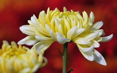 Chrysanthemums [2] wallpaper