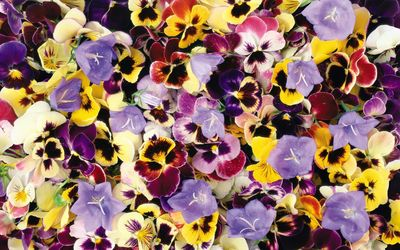 Colorful and wet pansies wallpaper