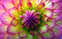 Colorful dahlia wallpaper 2560x1600 jpg
