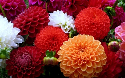 Colorful dahlias gathered in the garden wallpaper