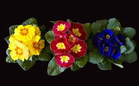 Colorful primulas flowers rising from basal rosettes of leaves wallpaper 1920x1080 jpg