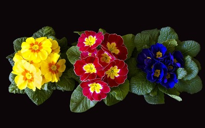 Colorful primulas flowers rising from basal rosettes of leaves wallpaper