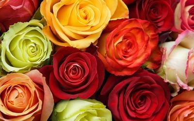 Colorful roses wallpaper