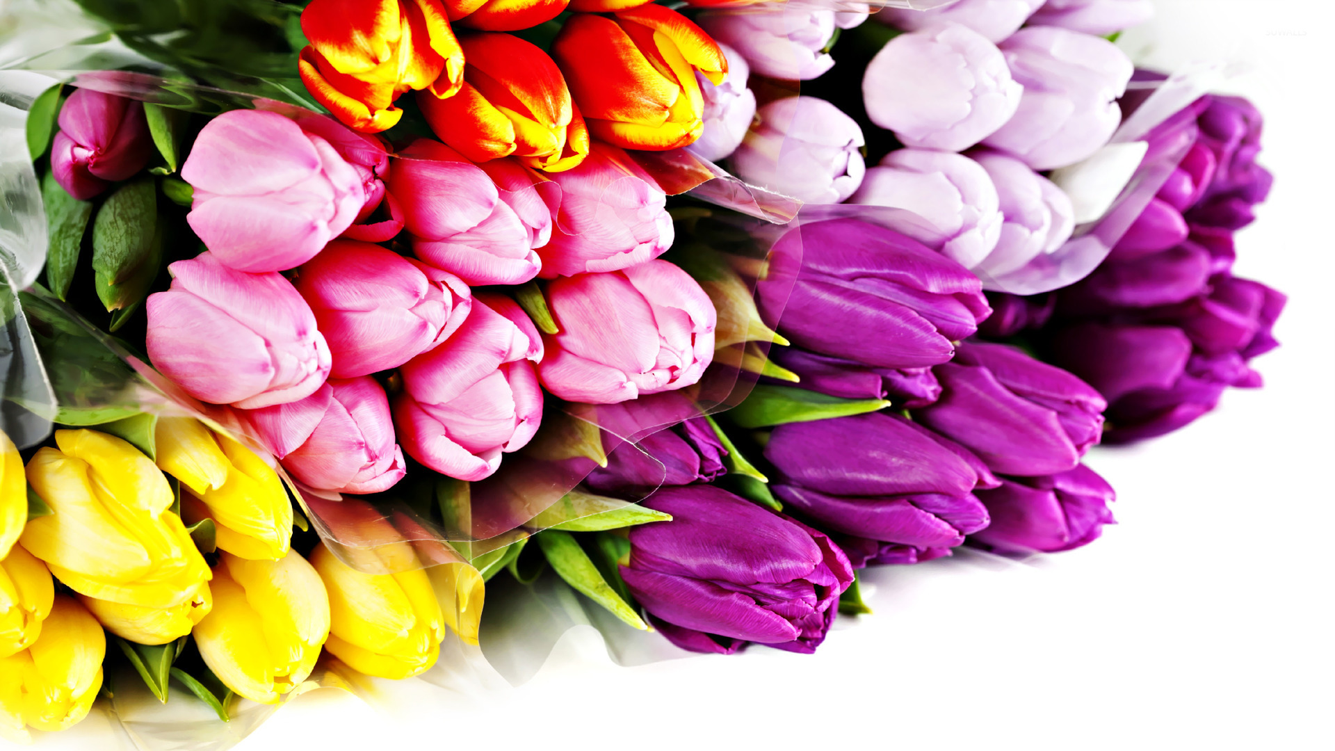 colorful tulip flowers - photo #32