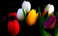 Colorful tulips wallpaper 1920x1200 jpg
