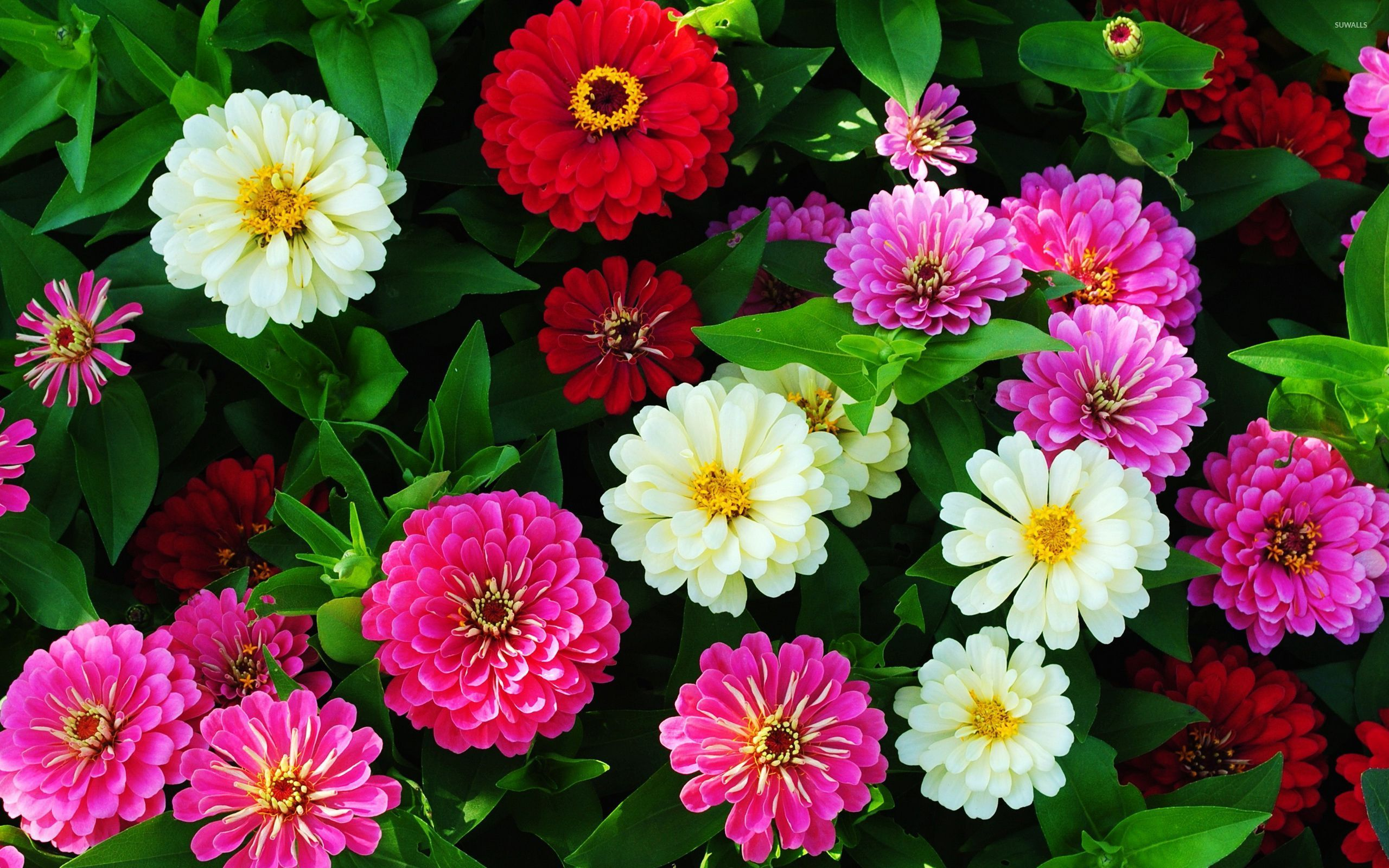 Fondos Flores Hd: Colorful Zinnias Wallpaper