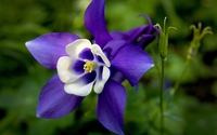 Columbine [2] wallpaper 1920x1200 jpg
