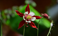Columbine wallpaper 2560x1600 jpg