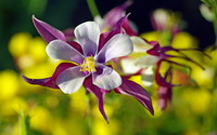 Columbines wallpaper 1920x1200 jpg