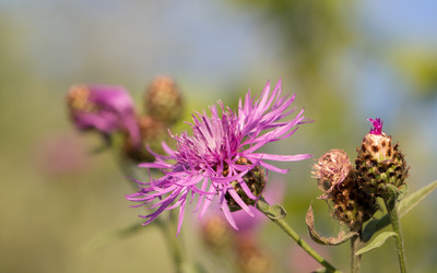 Common Knapweed blossom and bud wallpaper