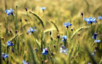 Cornflowers on the field wallpaper