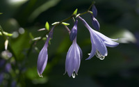 Creeping Bellflower wallpaper 2560x1600 jpg