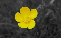 Creeping buttercup wallpaper 1920x1080 jpg