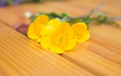 Creeping Buttercup blossoms on wood wallpaper