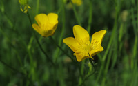 Creeping buttercup field [2] wallpaper 2560x1600 jpg
