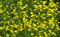 Creeping buttercup field wallpaper 2560x1600 jpg
